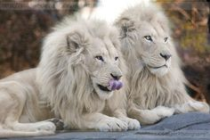 Pair of White Lions