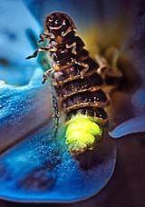 Glühwürmchen Wann Leuchten Sie