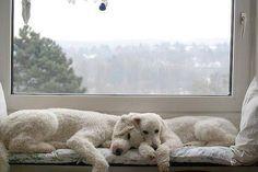 Sleepy poodles look familiar!!!