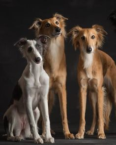 Silken Windhound Photographer: Paul Croes