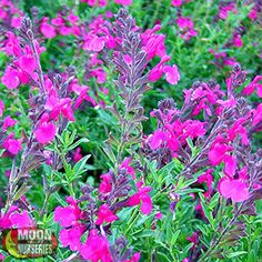 AUTUMN SAGE  Salvia greggii Autumn Sage is a very pretty perennial small accent shrub with beautiful red to coral flowers during the warm months of spring and fall.
