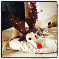 A greyhound Christmas