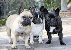 character?cohabit with other animals and children?difference male and female ? ...... Miniature French Bulldog, Female, Children, Dogs, Animals, Character, Young Children, Boys, Animales