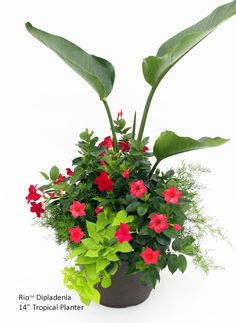 Red Rio Dipladenias in planter with Bird of Paradise centre for height and sweet potato vine and rice fern accent plants