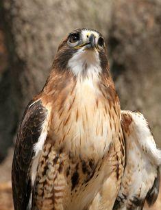 Red-tailed Hawk 20D0024728 by Cristian-M.deviantart.com on @deviantART