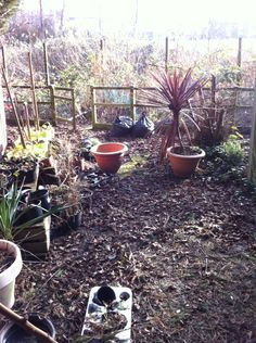 Visiting our allotment garden after winter often is a discouraging experience: what a mess!  But after some work....