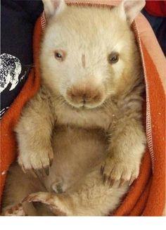 Ceduna Wombat & Fauna Rescue Wombat, Road Trip, Rabbit, Cute Animals, Teddy Bear, Wisdom, Spaces, Bunny, Pretty Animals