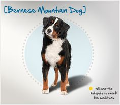 Did you know the Bernese Mountain Dog originated in Switzerland, and was named for the Canton of Bern?  Read more about this breed by visiting Petplan pet insurance's Condition Checker!