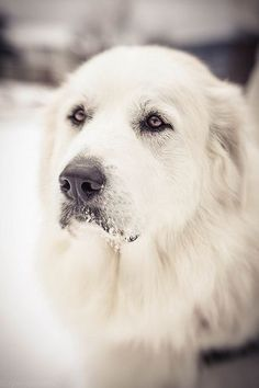 My old dog looked like this but he was black. We had to give him to the vet because he was sick:( #bigdog