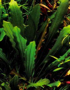 Echinodorus «Grosser Baer»
