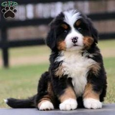 Bernese Mountain Dog puppies for sale! The Bernese Mountain Dog is a confident breed with a sweet temperament. Burmese Mountain Dog Puppy, Bernese Mountain Puppy, Bernese Dog, Super Cute Puppies, Cute Baby Dogs, Puppies For Sale, Dogs And Puppies, Mountain Dog Breeds, Deadly Animals