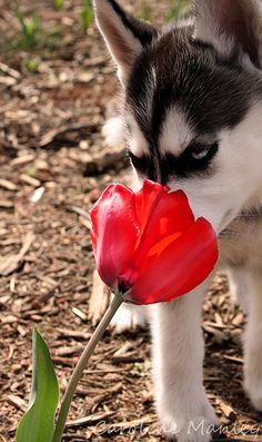 Stopping to smell the flowers. Stopping to smell the flowers. My Husky, Husky Puppy, Miniature Husky, Husky Facts, Husky Breeds, Dog Mask, Wolf Love, Snow Dogs, Dog Photos