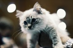 Irresistable kitten #eastershow #cat #kitten #animals #babyanimals