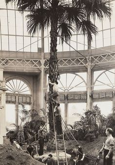 The rearranging of palm trees underway in the Enid A. Haupt Conservatory—sixty-nine years ago this month. A little right…a little left…perfect! From The New York Botanical Garden's archival photographs, in the collections of The LuEsther T. Mertz Library.