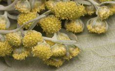 Artemisia absinthium 2685 Artemisia Absinthium, Cauliflower, Vegetables, Food, Cauliflowers, Essen, Vegetable Recipes, Meals, Cucumber