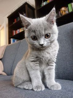 """THIS BABY RUSSIAN BLUE KITTEN IS """"SO CUTE""""! - Tap the link now to see all of our cool cat collections!"""