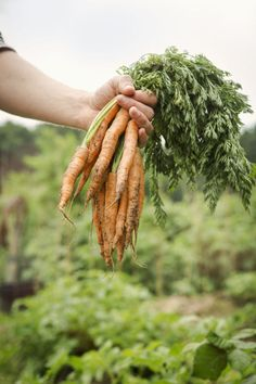 Sow carrot seeds by late July to early August. Keep the soil moist because they won't germinate in dry soil. While carrots won't keep growing in cold weather, they will become sweeter-tasting after a frost.