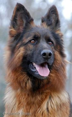 GRUNWALD HAUS - German Shepherd Dogs