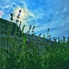 Monday gardening day! Did you know the dutch #pronounciation of Lavender is lovehāndle?  #Lavendel #lavender #lovehandle #gardening #bluesky #skiesofinstagram #beautifulnature #instasky #plants #thenetherlands #blue #monday #enjoy #enjoylife #enjoythelittlethings #summer #garden