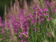 Rosebay Willow Herb by Tom Wood East Yorkshire, Herbs, Wood, Plants, Woodwind Instrument, Herb, Trees, Plant, Home Decor Trees