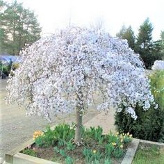 Accent trees are an excellent way to add beauty and charm to your garden without requiring a lot of space. Add a White Snow Fountain Weeping Cherry tree in a container as a stunning patio focal point! 🌱Growing zones art design landspacing to plant Dwarf Trees For Landscaping, Landscaping With Rocks, Front Yard Landscaping, Shade Landscaping, Small Weeping Trees, Weeping Cherry Tree, Dwarf Weeping Trees, Weeping Evergreen Trees, Small Garden Evergreen Trees