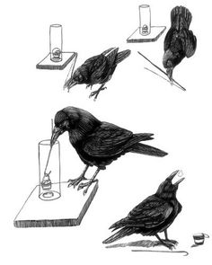 Tony Angell dwg for NYTimes article about intelligence of crows, 2012