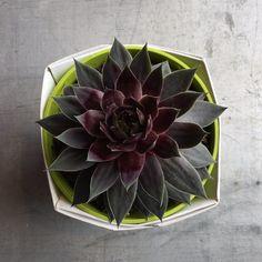Succulent - Sempervivum