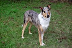 Blue Merle Smooth Collie