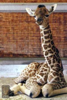 """Kipenzi"", the new baby giraffe calf at The Dallas Zoo! Kipenzi means ""loved one"" in Swahili #dallaszoo"
