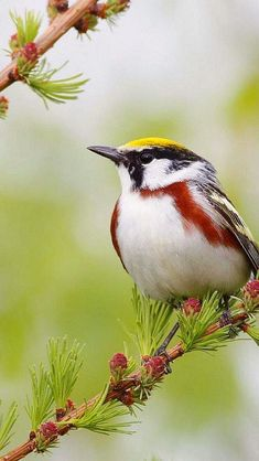 "Spring, again... with birds on the wing, again...   "" Chestnut Striped Warbler moment love "" 