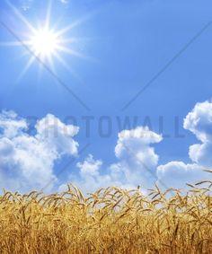 Gold Wheat - Fotobehang & Behang - Photowall