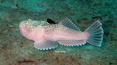 Whitemargin stargazer Scientific Name:Uranoscopus sulphureus dive site:Awas,mabul,sabah,Malaysia - Haoyi Huang - Google+