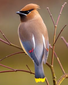 Cedar Waxwing - So smooth and soft, it doesn't even look like feathers!