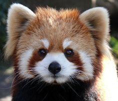 レッサーパンダのカメラ目線 Red Panda