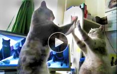 HILARIOUS CATS ARGUE & PLAY PATTY-CAKE  |  I thought this one was pretty funny with just the cat patty cake thing going on. But then the cats start talking and takes it to a new level. A couple of guys found the original clip and did a great job writing the dialogue and then performing it with impeccable comedic timing. My hat's off to them for the fine effort! Thanks guys. Enjoy.