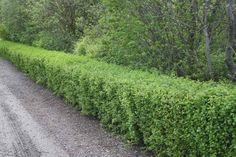 green mound alpine currant - Google Search