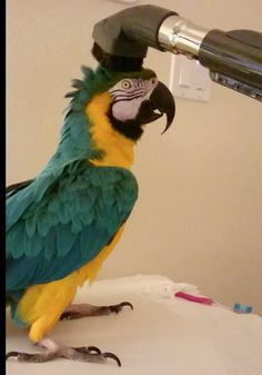 Blue & Gold Macaw Loves To Be Vacuumed