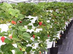Hydroponic Vertical Gardening, Commercial Growing Systems