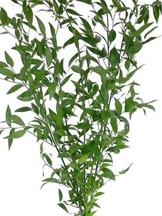 Fresh Cut Italian Ruscus Greens Bunch. Event Garland Wedding Christmas Floral
