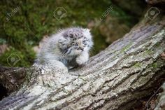 Picture of Young pallas cat kitten , or manul, lives in the cold and arid steppes of central Asia Winter temperatures can drop to 50 degrees below zero stock photo, images and stock photography. Felis Manul, Manul Cat, Small Wild Cats, Big Cats, Cats And Kittens, Rare Cats, Exotic Cats, Pallas's Cat, Beautiful Cats