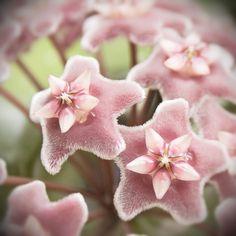 Hoya carnosa flowers, wax plant