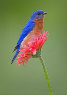 Eastern Bluebird on Gebera Daisy. Love!!!