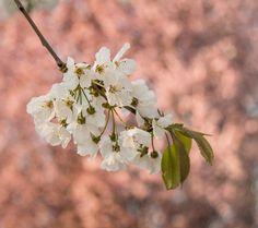 kirschblüte Nature Images, Plants, Beautiful, Cherries, Flowers, Flora, Plant, Planting
