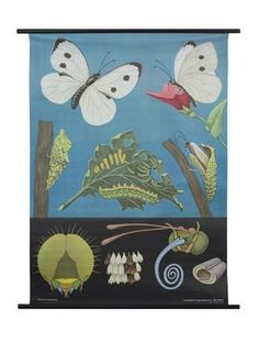 Cabbage White Butterfly Zoology Poster - Evolution Store