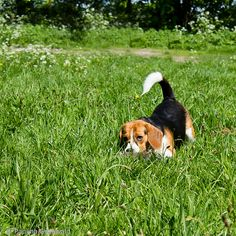 Beagle, the great stalker Beagle Puppy, Corgi, Girls Best Friend, My Best Friend, Animals And Pets, Cute Animals, Pocket Beagle, Adorable Dogs, Beagles