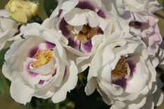 Eyes for you - Ludwig's RosesLudwigs Roses