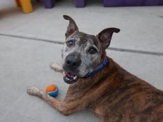 BROOKE aka BROOKLYN - A1115111 - - Brooklyn  TO BE DESTROYED 06/27/17  A staff member writes:Brooke is such a gorgeous and nice little old lady!!! Precious is only a tiny way to describe how incredibly darling and sweet this beauty is. Despite her age, she is very energetic and eager to leave her kennel to go outside and play. Around everybody she comes across, Brooke displays happiness and kindness toward every one she interacts with. She is a gentle soul, very caring and