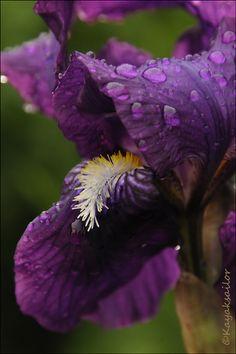Dew on Iris