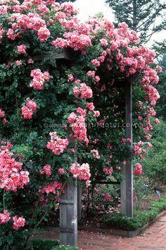 Rosa American Pillar climbing rose over trellis, pink flowers, bench arbor Beautiful Flower Quotes, Beautiful Roses, Red Climbing Roses, Rose Trellis, Garden Arbor, Growing Roses, Garden Planning, Botanical Gardens, Planting Flowers