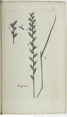 LOLIUM - Lolium perenne. L'yvroie vivace / Le raigrass